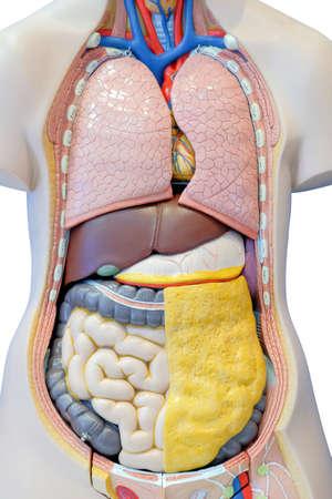 Modelo de anatomía de los órganos internos del cuerpo humano para uso en educación médica, aislado sobre fondo blanco.