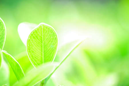 Fresh green leaf and overexposure of sunlight on green nature blurred background at public park in morning, greenery season background, close-up and selective focus Stock Photo