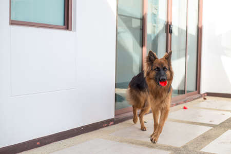 Portrait of german shepperd dog playing bite red toy Stock Photo