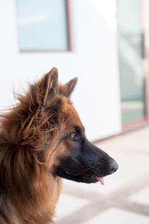 shepperd: Portrait of german shepperd dog
