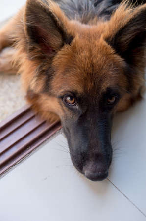 Portrait of german shepperd dog on background swimiming pool Stock Photo