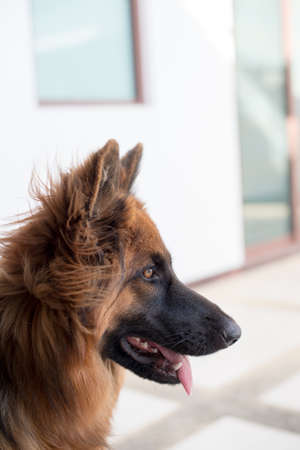 shepperd: Portrait of german shepperd dog