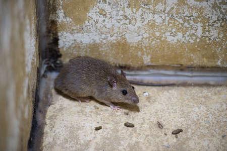 norvegicus: Brown rat in mortar Tubs