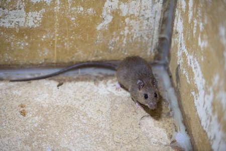 박격포 욕조에있는 갈색 쥐