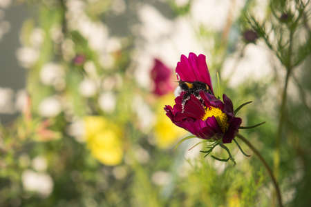 robbing: A bumble bee loaded with pollen pollinates a purple cosmos bipinnatus flower, nectar robbery Stock Photo