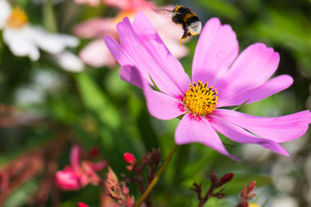 A bumble bee loaded with pollen pollinates a purple cosmos bipinnatus flower - nectar robbery
