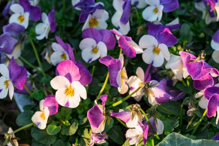 Purple-white heartsease flowers or viola tricolor hortensis growing in a flowerbed