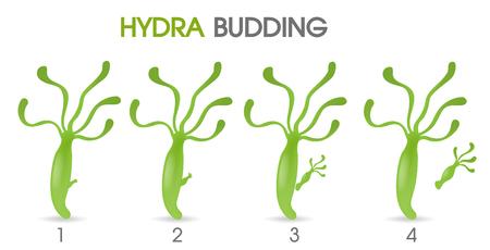 Ciencia de Hydra Budding.