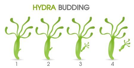 Science of Hydra Budding. Vektoros illusztráció