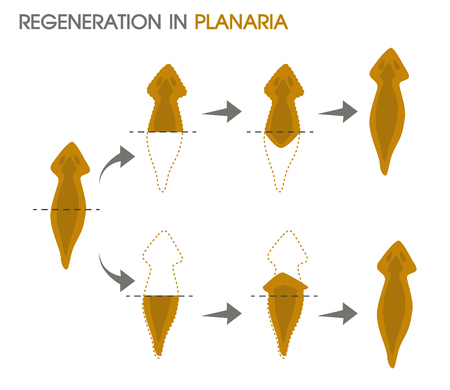 Regeneration in Planaria.