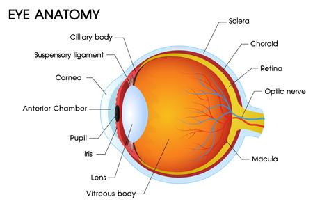 Illustrator einer Anatomie des menschlichen Auges.