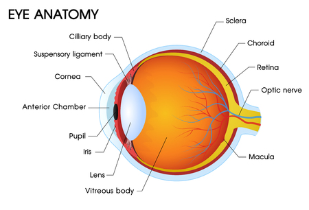 Illustrator of a Human eye anatomy.