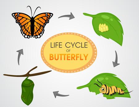 Lebenszyklus des Schmetterlings.