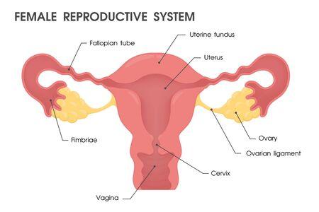 uterus. Vector study the structure of the uterus. Standard-Bild - 132923225