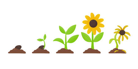 Tree growth. Planting a tree that has sprouted from seed becomes a seedling with flowers and dies. 일러스트