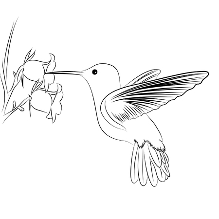 pollination: Cute humming bird on white background