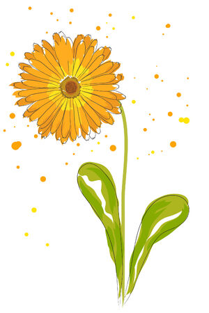 calendula: beautiful blossom watercolor orange calendula on white background