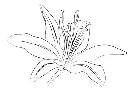 muguet fond blanc: contour Lily
