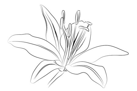 flowers close up: outline Lily