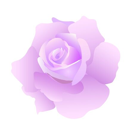 beautiful purple blossom rose on white background Stock Vector - 9242383