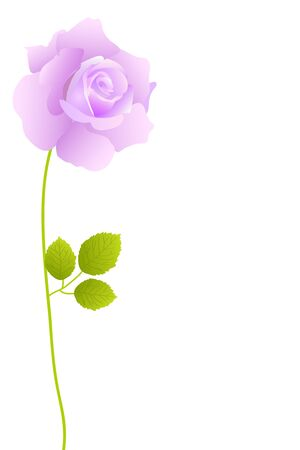 purple roses: beautiful purple blossom rose on white background
