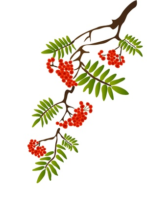 bacca: Berries of red Viburnum with leaves on white background Illustration