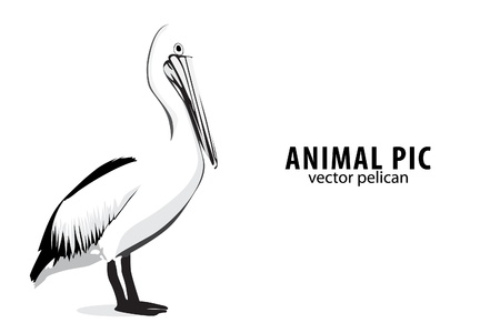 Pelican: Illustration of a pelican on white Illustration
