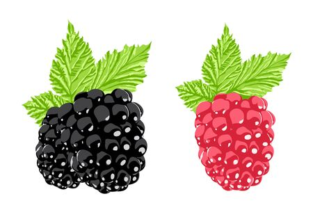 bramble: Vector berry Illustration