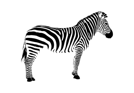 standing on white background: zebra silhouette