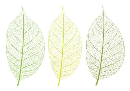 venation: Vector leaf