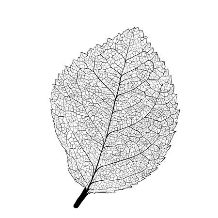 白い背景の上の葉のスケルトン