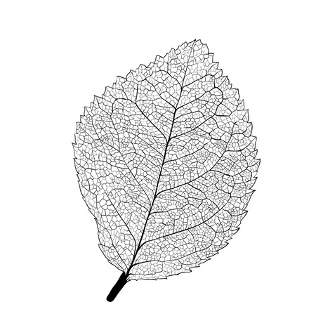 Leaf skeleton on white background
