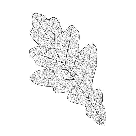 oak leaf skeleton on white Ilustração