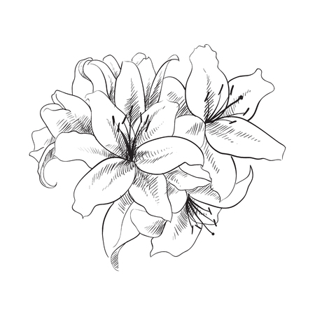 lilium: floral illustration of lilly flowers