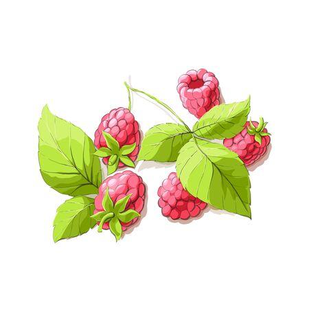 ripe: ripe raspberry illustration on white