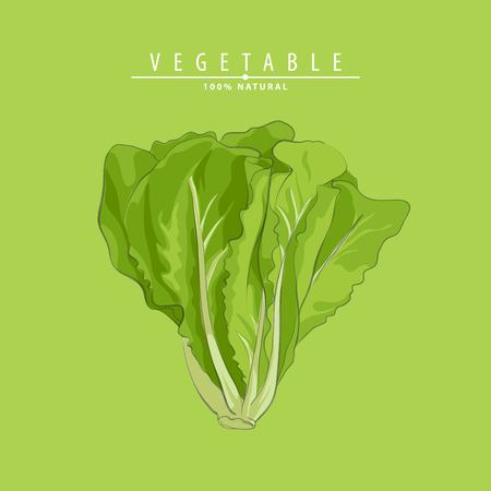 Vector illustration fresh green lettuce on green background