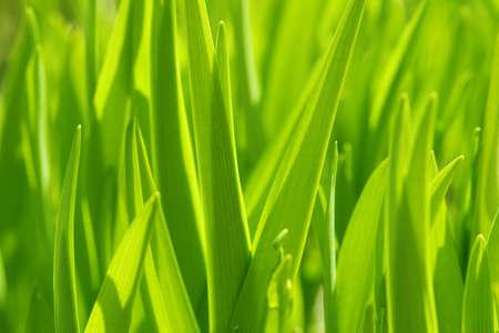 long stem: Green grass