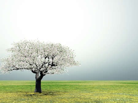 cherrytree: Blossoming lonely cherry-tree in the early morning light