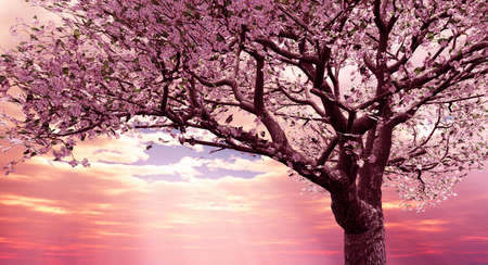 cherrytree: Blossoming cherry-tree in the late evening light