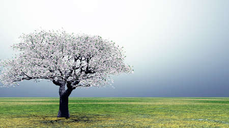 cherrytree: Blossoming cherry-tree in the early morning light