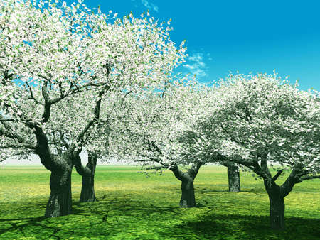 Blossoming cherry-trees photo