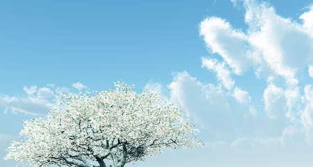 cherrytree: Blossoming cherry-tree Stock Photo