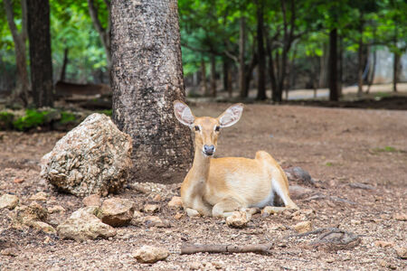 A friendly deer is chilling out under the tree in the morning