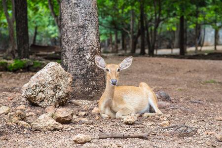 chilling out: Un ciervo de se Tiempo libre bajo el �rbol en la ma�ana