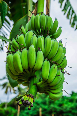 Green banana growing in the agriculture field