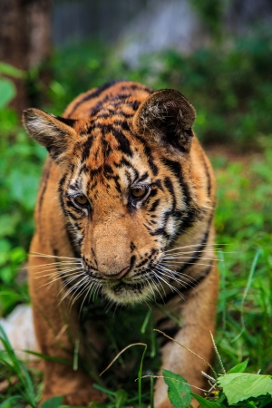 A young tiger is looking at something in front of him  Stock Photo - 24611418