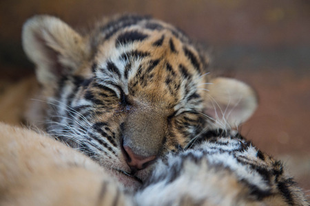 two baby tigers are sleeping during the day.