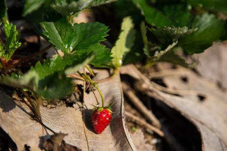 a strawberry is growing up in the field. Stock Photo
