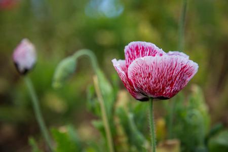 Poppy is growing beautifully in spring season.