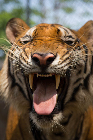 tiger smile showing big and long teeth